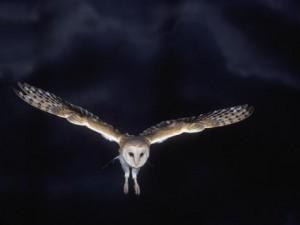 barn-owl-in-flight-at-night